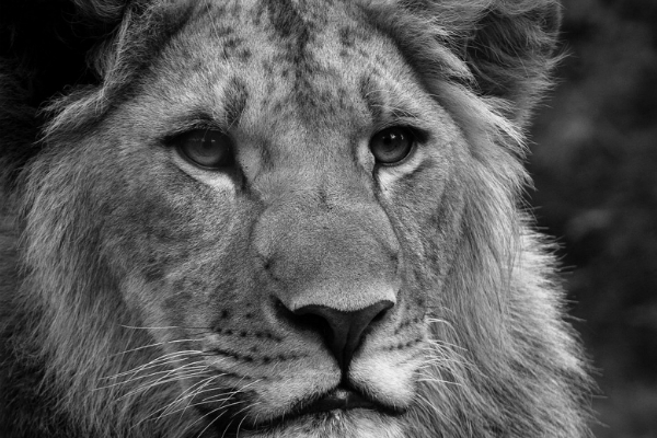 Gorgeous greyscale lion